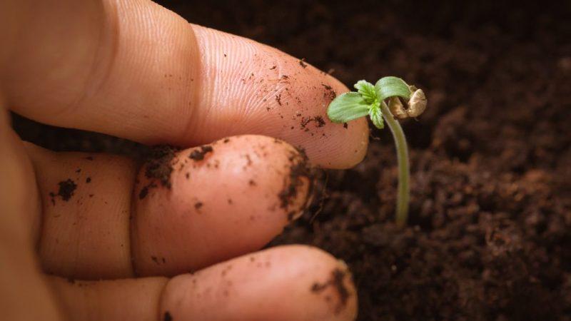 Comment faire pousser du chanvre ?