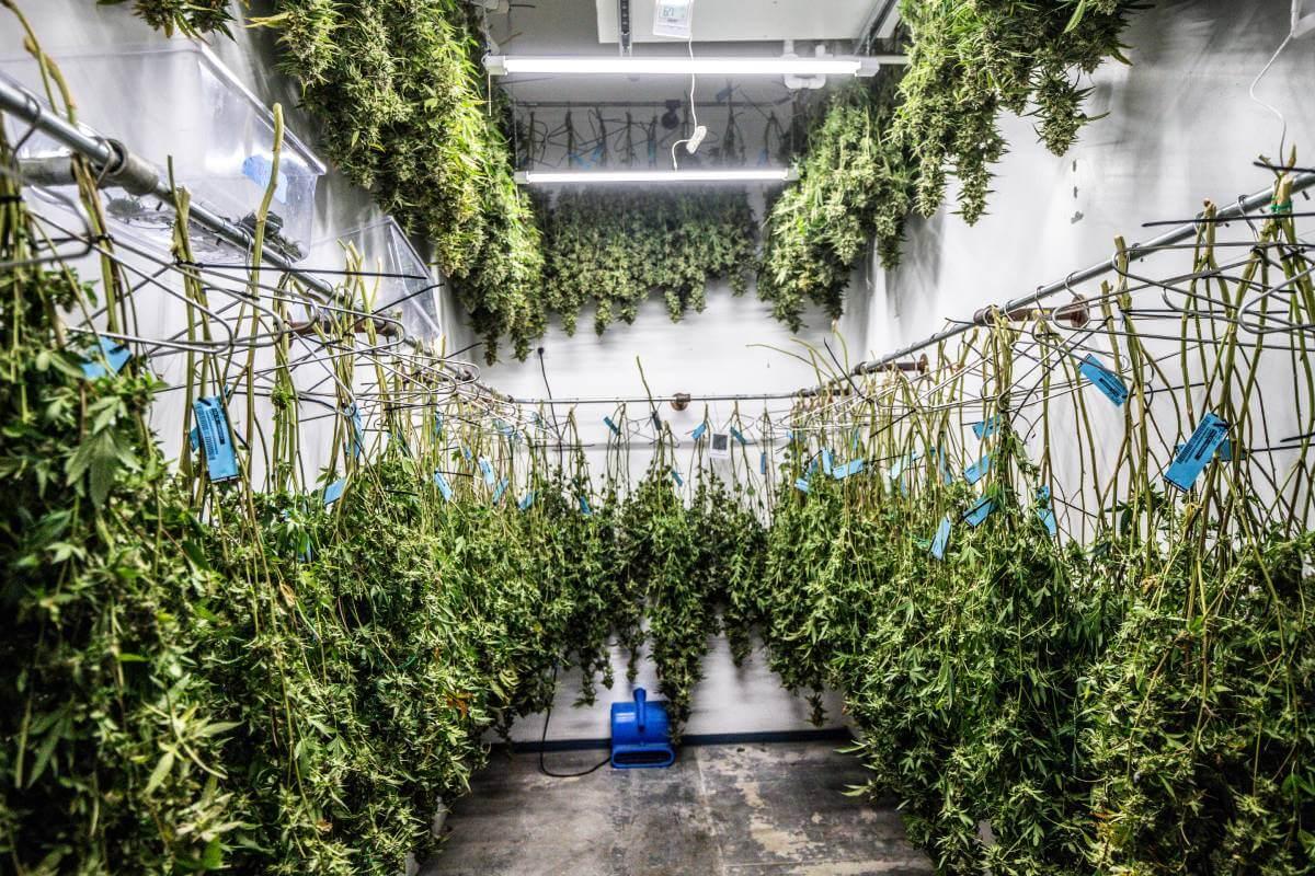 Quels sont les différents modes de culture du cannabis CBD?